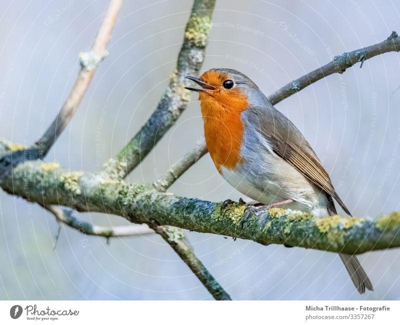 Singendes Rotkehlchen im Baum Natur Tier Himmel Sonne Sonnenlicht Schönes Wetter Zweige u. Äste Wildtier Vogel Tiergesicht Flügel Krallen Kopf Schnabel Auge