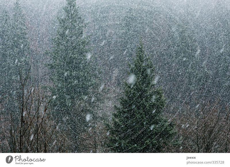 Tausend Tränen Natur grün weiß Winter schwarz Wald dunkel kalt grau Schneefall schlechtes Wetter