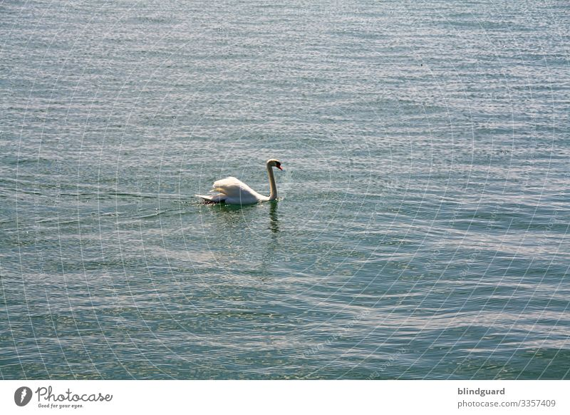 Schwanensee. Schwan schwimmt ruhig auf den Wellen des Bodensees. Wasser Gefieder Federn schwimmen edel stolz blau weiß Schnabel Schwimmen & Baden Tier Vogel