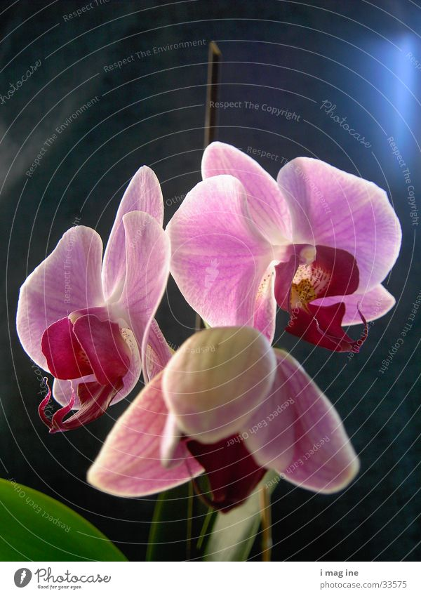 Orchidee Blume Blüte Pflanze 3 Makroaufnahme Nahaufnahme Natur schön