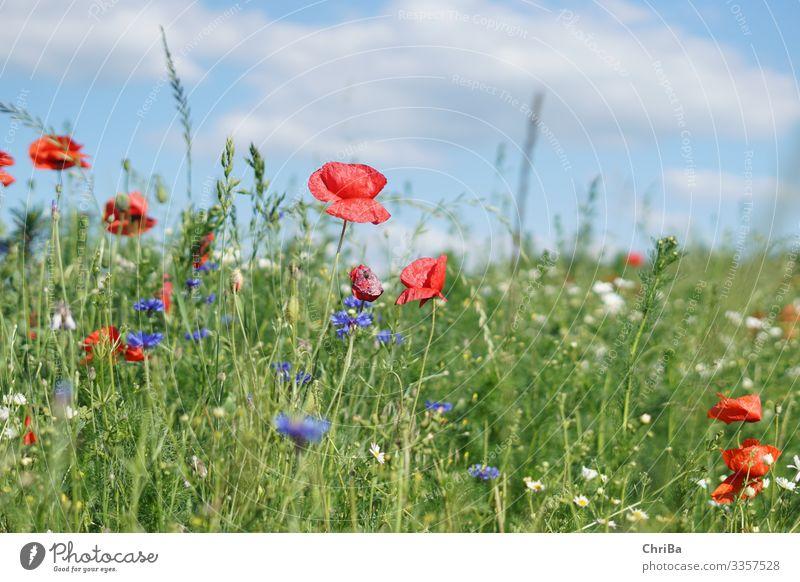Mohnblumen, Kornblumen blauer Himmel, was will man mehr Umwelt Natur Landschaft Pflanze Wolken Sonne Frühling Sommer Klima Schönes Wetter Blume Gras Blüte