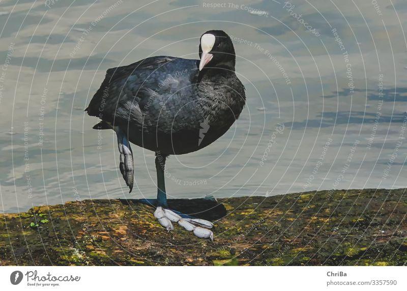 Auf großem Fuße Natur Tier Wasser Wellen Küste Flussufer Wildtier Vogel Flügel 1 hocken Blick Freundlichkeit schön schwarz Zufriedenheit Lebensfreude Blesshuhn