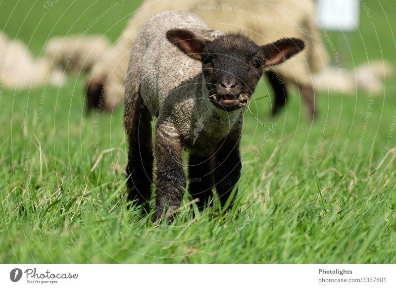 Neugieriges Lamm Natur Landschaft Tier Frühling Wiese Nutztier Tiergesicht Fell Schaf 1 Herde Tierjunges Fressen füttern hören Blick nah klug braun grün schwarz