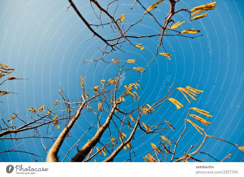 Corylus avellana Frühling Ast Baum Blühend Blüte Garten Himmel Himmel (Jenseits) Schrebergarten Kleingartenkolonie Menschenleer Natur Pflanze Sträucher