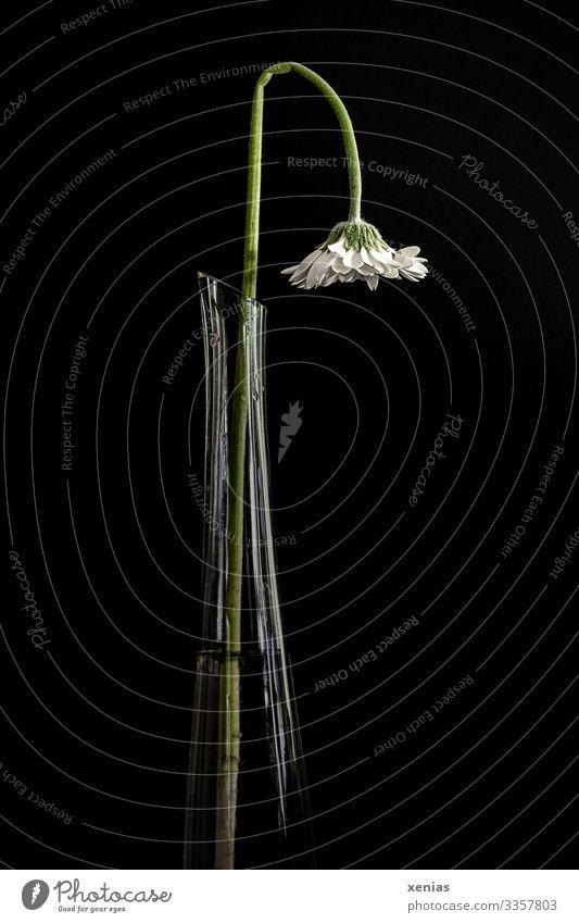 hängende weiße Gerbera in hoher schmaler Vase mit Burn-out-Syndrom alt Häusliches Leben Innenarchitektur Dekoration & Verzierung Pflanze Blume grün schwarz