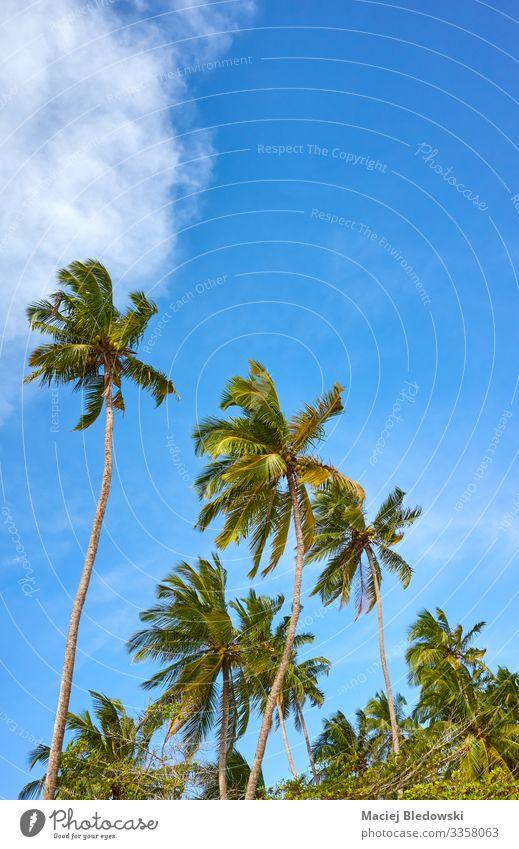 Kokosnusspalmen an einem sonnigen Tag gegen den Himmel. exotisch Ferien & Urlaub & Reisen Tourismus Sommer Sommerurlaub Sonne Insel Natur Baum natürlich blau