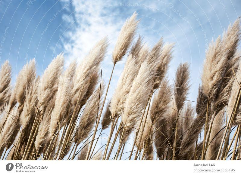 Pampasgras am Himmel, Abstrakter natürlicher Hintergrund schön Sommer Garten Dekoration & Verzierung Natur Pflanze Blume Gras weich blau gelb gold grau grün