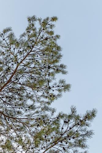 Kiefernzweige vor blauem Himmel Sommer Umwelt Natur Pflanze Baum Park Wald frisch natürlich Sauberkeit grün Farbe nadelhaltig Konifere Ast Niederlassungen Zweig