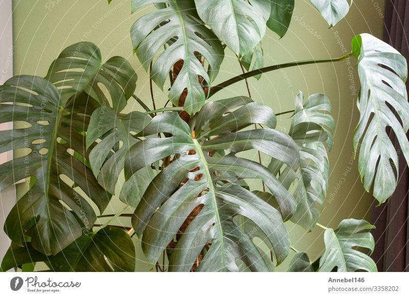 Eine Retro-Gewächshauspflanze in der Nähe einer grünen Wand in einem modernen Haus, Topf Lifestyle Stil Design schön Leben Erholung Sommer Wohnung Garten