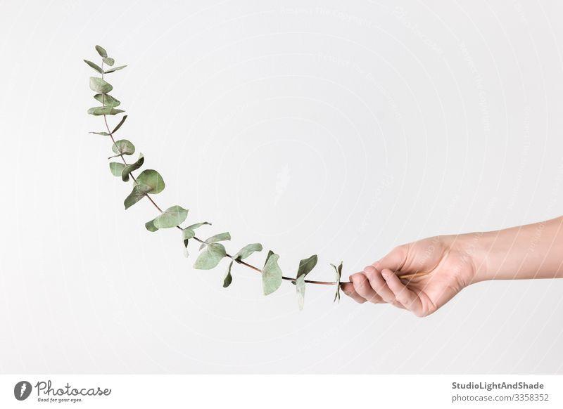 Weibliche Hand hält Eukalyptuszweig elegant Stil Design schön Dekoration & Verzierung Gartenarbeit Frau Erwachsene Arme Finger Natur Pflanze Blatt einfach