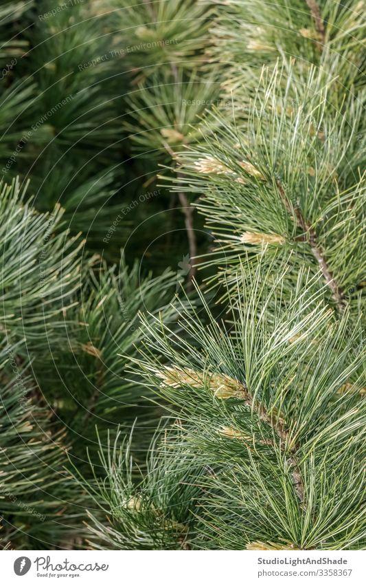Flauschige Kiefernzweige Natur Pflanze Baum Wachstum frisch natürlich neu grün Farbe nadelhaltig Konifere Nadeln Ast Niederlassungen Zweig Immergrün Frühling