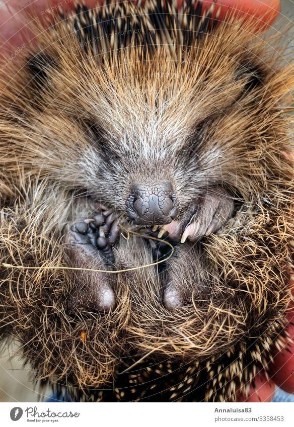 Kleiner Igel Tier Baby Tierjunges Herbst Winter Fürsorge Rettung Farbfoto
