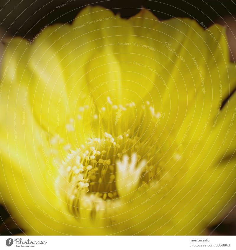 nahaufnahme macro von gelber kaktusblüte Natur Pflanze Blüte Blatt Grünpflanze Wildpflanze klein weich natürlich Farbfoto Makroaufnahme Nahaufnahme