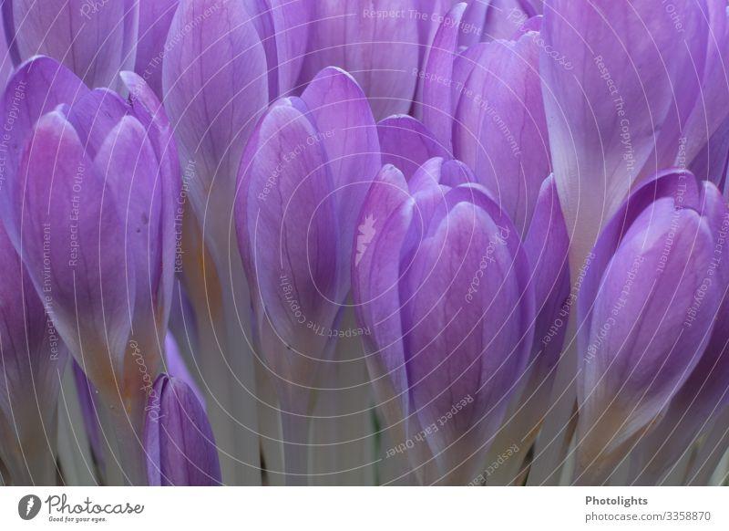 Krokus Umwelt Natur Landschaft Pflanze Erde Frühling Blatt Blüte Wildpflanze Topfpflanze Krokusse Garten Park Wiese Feld klein blau grau violett weiß