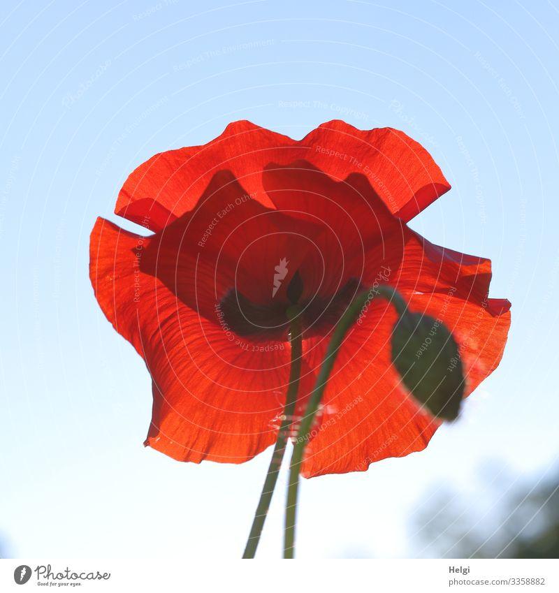 Nahaufnahme einer roten Mohnblüte und Knospe im Gegenlicht vor blauem Himmel Mohnblume Mohnknospe Pflanze Blume Blüte Sommer Klatschmohn Natur Außenaufnahme
