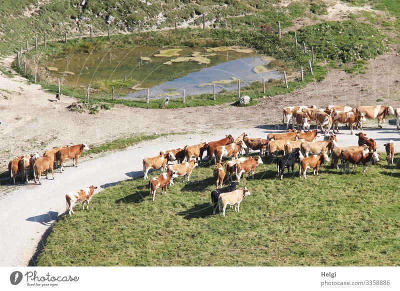 Kuhherde wartet beim Almauftrieb im Frühling Chiemgauer Alpen Berge u. Gebirge Landschaft Umwelt Natur Kühe Frühjahr Wiese Weide Weg Nutztier Herde stehen