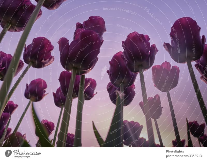 Tulpenliebe Natur Pflanze Erde Himmel Blatt Blüte Garten Park Feld schön gelb grün rosa Tulpenzeit Frühling Zierpflanze Liliengewächse Niederlande Sonne