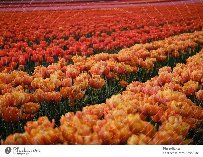 Tulpenmeer Natur Landschaft Pflanze Erde Frühling Blatt Blüte Garten Park Feld elegant lang natürlich dünn mehrfarbig gelb grün orange rosa rot Niederlande