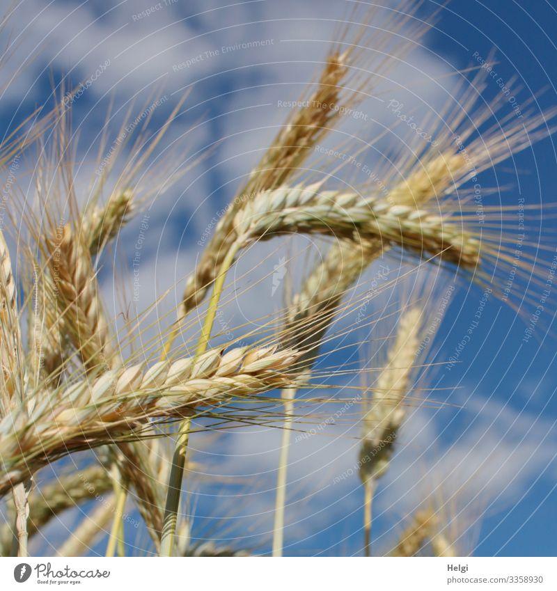 Kornähren der Gerste im Sonnenlicht vor blauem Himmel mit Wolken Getreide Ähren Kornfeld Getreidefeld Landwirtschaft Ernährung Pflanze Natur Umwelt Sommer