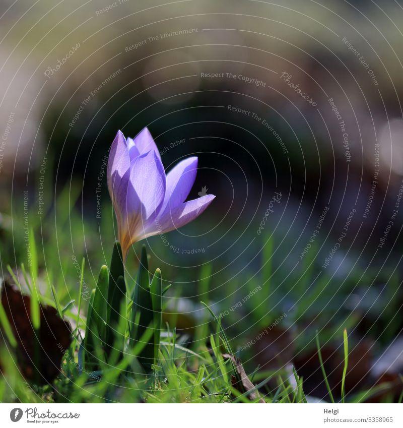 ein kleiner lila Krokus wird von der Sonnen angeleuchtet Umwelt Natur Pflanze Frühling Schönes Wetter Blume Gras Krokusse Frühblüher Garten Blühend leuchten