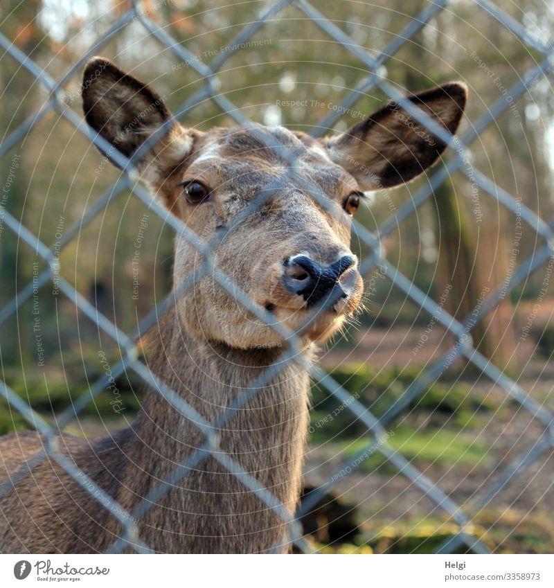 Hirschkuh schaut durch einen Zaun Natur Pflanze Tier Frühling Schönes Wetter Baum Park Wildtier Tiergesicht Zoo Rothirsch 1 Maschendrahtzaun Metall Blick stehen