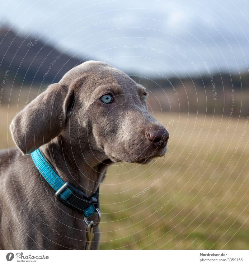 Weimaraner Welpe entdeckt die Welt weimaraner welpe hund haustier braun hübsch jagdhund portrait reinrassig sprache gras jung freudig säugetier toben klein