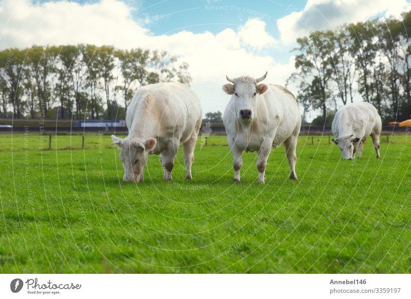 Baumweiße Kühe, die in den Niederlanden auf dem Feld grasen Essen schön Gesicht Sommer Menschengruppe Umwelt Natur Landschaft Tier Himmel Gras Wiese Autobahn