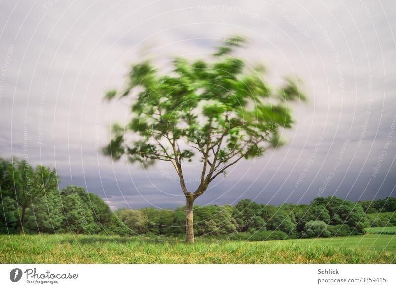 Stürmische Zeiten Umwelt Herbst Klimawandel Wind Sturm Baum außergewöhnlich grau grün Bewegung Landschaft Wiese Wald Waldrand taumeln Zerreißen Blatt Ast Wolken
