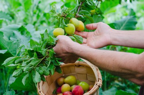 Ein Mann sammelt mit der Hand Pflaumen. Ländliche Szene. Frucht Ernährung Vegetarische Ernährung Lifestyle Gesunde Ernährung Wellness Sommer Gartenarbeit