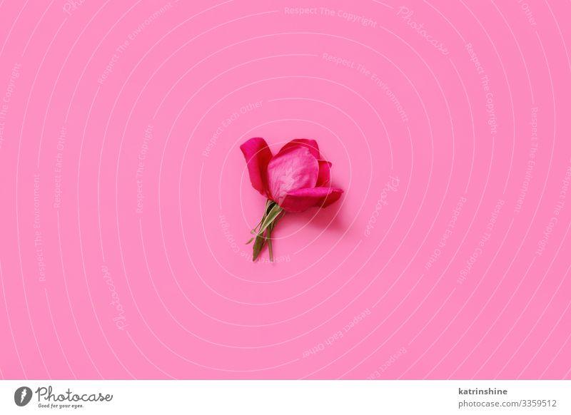 Leuchtend rosa Rose auf rosa Hintergrund - Draufsicht Design Dekoration & Verzierung Hochzeit Frau Erwachsene Mutter Blume oben Kreativität romantisch hellrosa