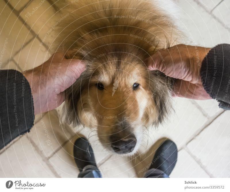 Tierliebe Haustier Hund 1 braun schwarz weiß Zufriedenheit Liebe Collie Kraulen Ohr Hausschuhe Zuneigung Fell Hundenase Vogelperspektive Hand