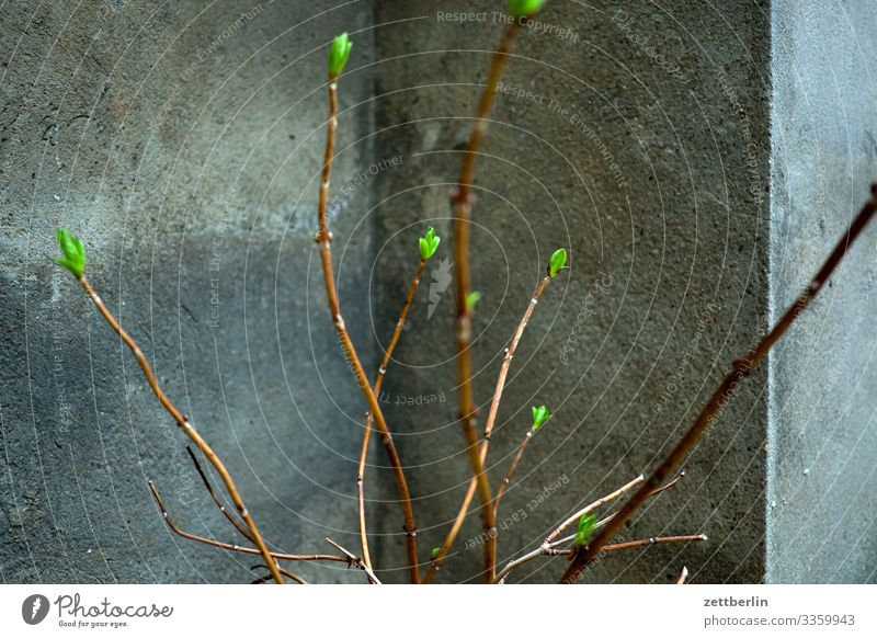 Knospen Garten Pflanze Blume Blüte Blühend Blütenknospen Blattknospe frisch grün Natur Ast Zweig Sträucher Tiefenschärfe Menschenleer Textfreiraum Mauer Ecke