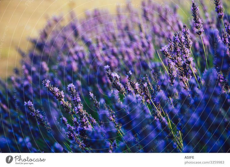 Selektiver Fokus von Lavendelblüten Blume abschließen Pflanze Überstrahlung Blüte Wittern Kraut Bereiche Detailaufnahme Provence Frankreich Ernte Sommer