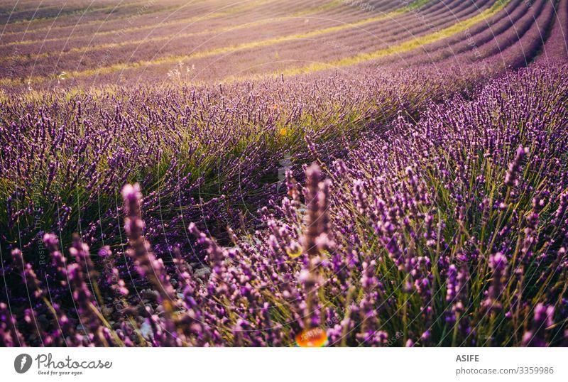 Blühendes Lavendelfeld bei Sonnenuntergang Blume Bereiche Provence Frankreich Landschaft Ernte Sommer Natur Pflanze sonnig Reihe purpur Farbe Blütezeit schön