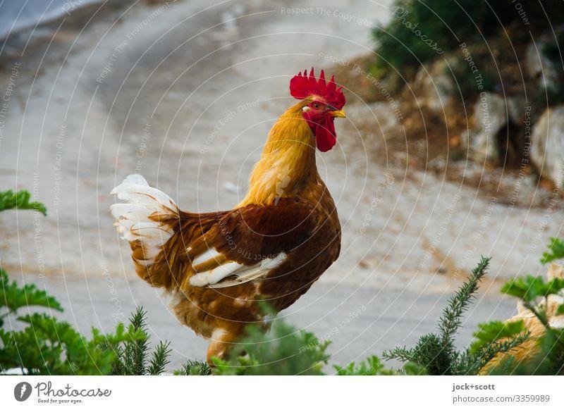 stolz wie Gockel auf der Straße in Griechenland Ausflug Sommer Sträucher Wege & Pfade Nutztier Hahn 1 Tier gehen authentisch Stimmung erleben Freiheit