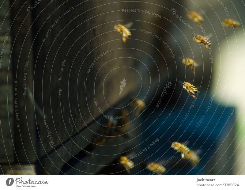 abgehoben | auf der Stelle Imkerei Bienenstock Schwarm fliegen authentisch frei Zusammensein klein nah Leben Schwärmerei Honigbiene Sozialstruktur Schweben