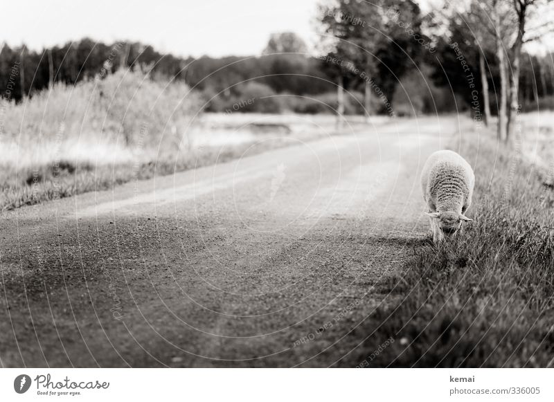 Helgiland | Rasmus... Natur Baum Wiese Straße Wege & Pfade Tier Nutztier Fell Schaf 1 Fressen Einsamkeit einzeln grasen Schwarzweißfoto Außenaufnahme