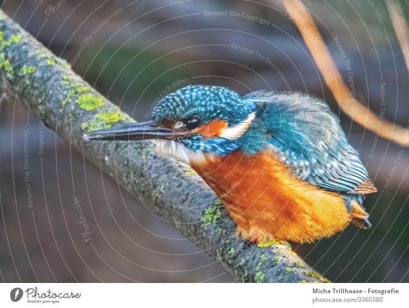 Eisvogel wartet auf Beute Umwelt Natur Tier Sonnenlicht Schönes Wetter Zweige u. Äste Seeufer Flussufer Wildtier Vogel Tiergesicht Flügel Krallen Eisvögel