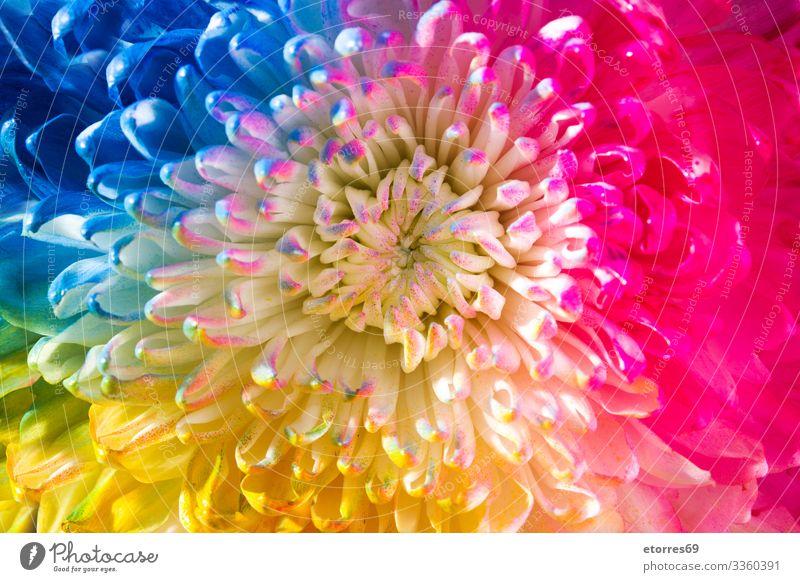 Bunte Blume arome Hintergrund neutral schön schwarz blau Chrysantheme Farbe mehrfarbig Gänseblümchen Tag Dekoration & Verzierung Pflanze geblümt grün Leben