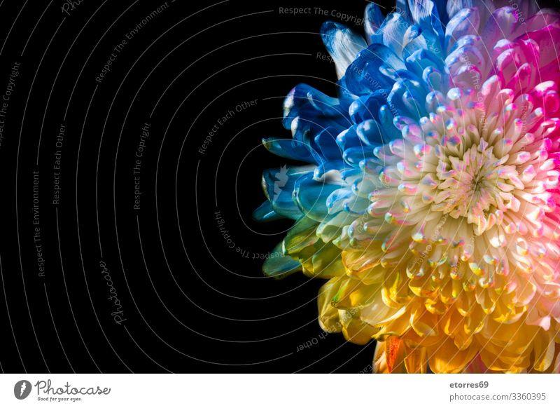 Bunte Blume arome Hintergrund schön schwarz blau Chrysantheme Farbe mehrfarbig Gänseblümchen Tag Dekoration & Verzierung Pflanze geblümt grün Leben Muttertag