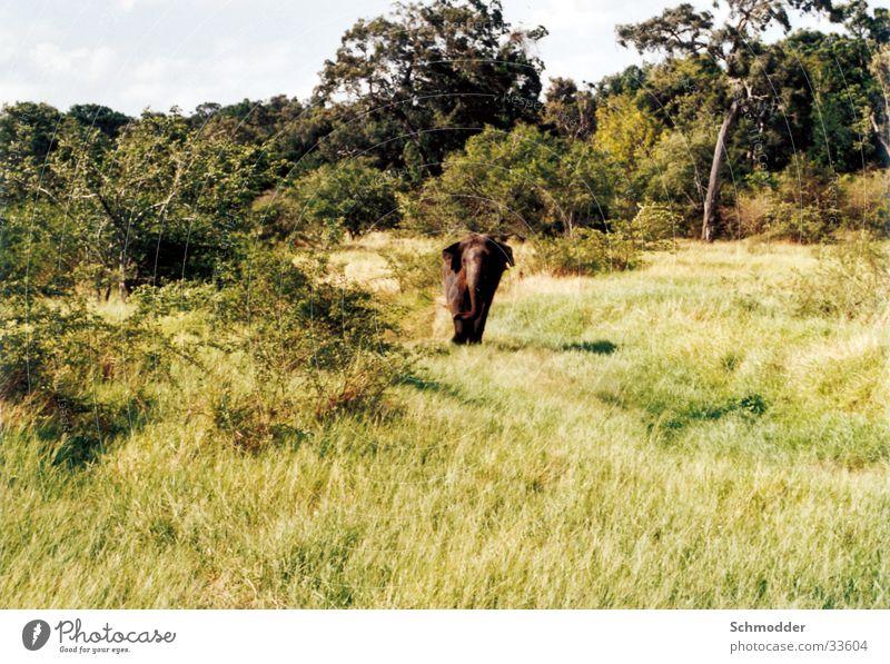 Elefant Wald Wiese Graffiti Sträucher Sri Lanka