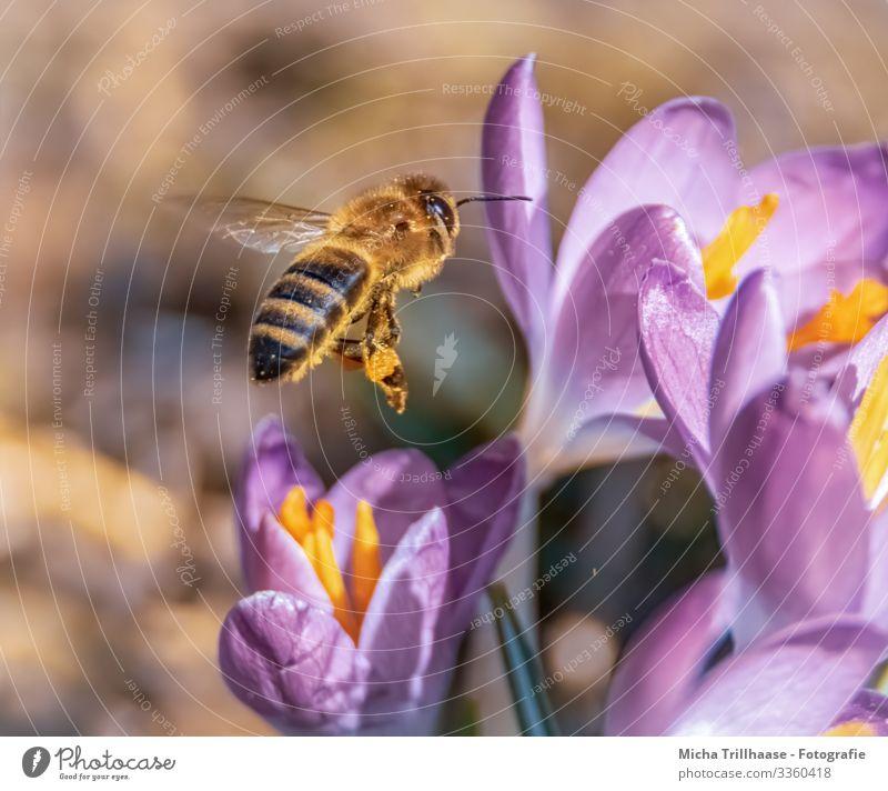 Fliegende Biene über Blüten Natur Pflanze Tier Sonnenlicht Schönes Wetter Blume Krokusse Wildtier Tiergesicht Flügel Insekt Beine Kopf Auge Fühler 1 fliegen nah