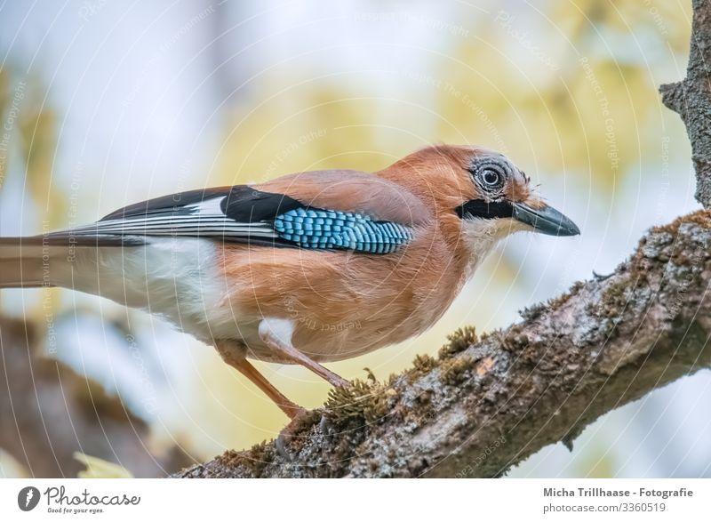 Eichelhäher im Baum Natur Tier Himmel Sonnenlicht Schönes Wetter Zweige u. Äste Wildtier Vogel Tiergesicht Flügel Krallen Kopf Schnabel Auge Feder gefiedert 1