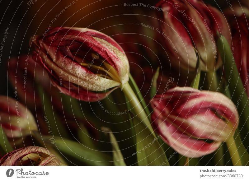 verwelkte Tulpen rot Pflanze Frühling Blume Blüte dunkel authentisch natürlich trocken grün Traurigkeit Trauer Natur Vergänglichkeit Farbfoto Innenaufnahme