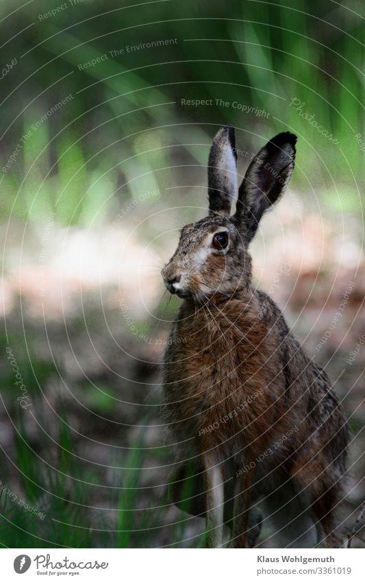 Meister Lampe Umwelt Natur Frühling Sommer Feld Wald Tier Wildtier Tiergesicht Fell Hase & Kaninchen 1 beobachten hören Blick sitzen warten braun grau grün Jagd