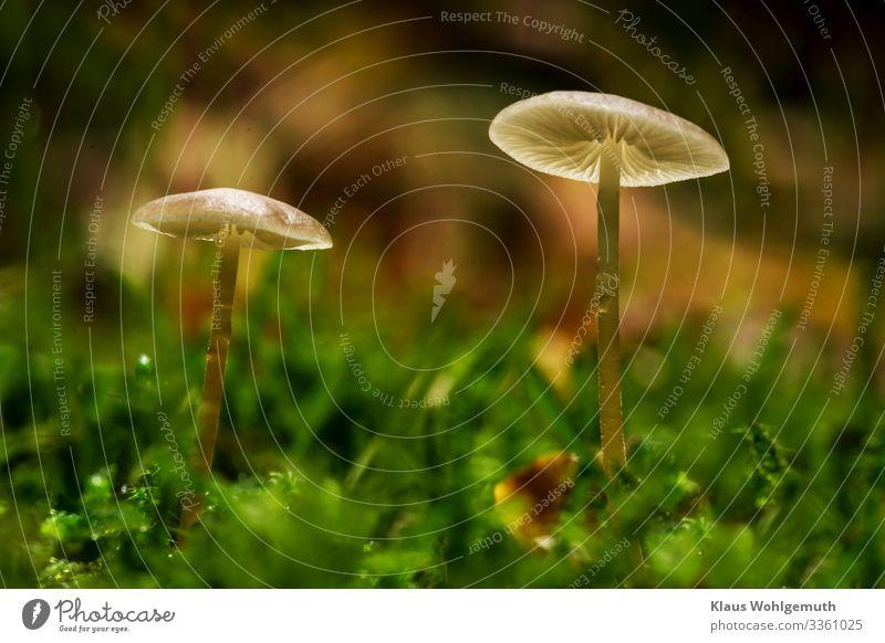 Wahre Herscher des Waldes Lebensmittel Pilz Umwelt Natur Pflanze Wassertropfen Sommer Herbst Moos stehen Wachstum fantastisch kalt braun grün weiß Pilzhut