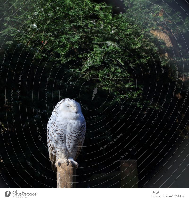 eine Schneeeule sitzt mit geschlossenen Augen auf einem Pfahl Umwelt Natur Pflanze Tier Winter Baum Wildtier Vogel Zoo Schnee-Eule 1 schlafen stehen einzigartig