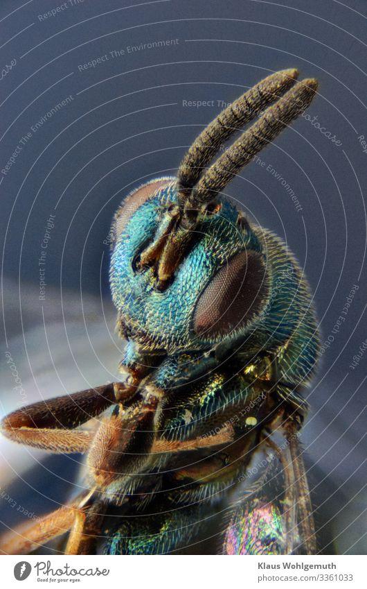 Erzwespe unter dem Mikroskop Umwelt Natur Tier Sommer Wildtier Totes Tier Insekt 1 exotisch fantastisch glänzend blau braun grün türkis Chitin Mikrofotografie