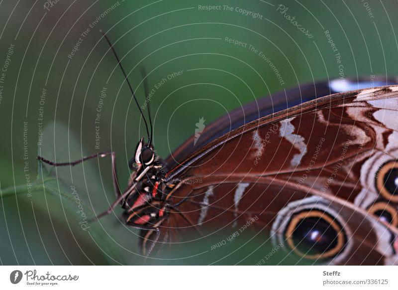 Erscheinung Umwelt Natur Sommer Schmetterling Flügel blauer Himmelsfalter blauer Morphofalter Augenflecken Muster Edelfalter Augenfalter nah natürlich schön