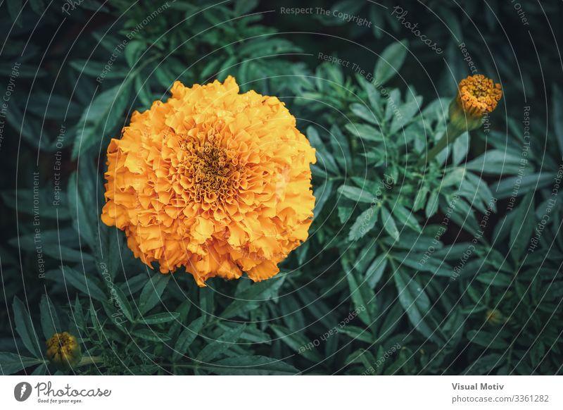 Afrikanische Ringelblume in einem Garten elegant schön Sommer Dekoration & Verzierung Gartenarbeit Natur Pflanze Blume Blatt Blüte Park Wiese Blühend frisch